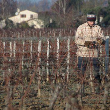 Tailler la vigne après le gel : une tâche délicate